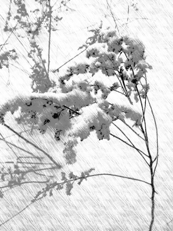 Winter snowdrops